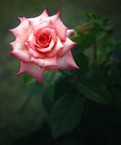 Pink Rose for Admiration. Stock Photos