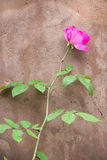 Pink Rose Against an Adobe Wall Royalty Free Stock Photo