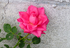 Pink rose against grey stone wall Royalty Free Stock Photos