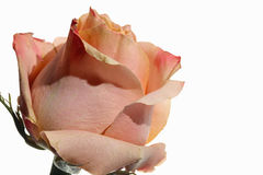 Pink Rose against white Background Royalty Free Stock Image
