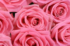 Pink rose  as a background Stock Image