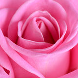 Pink rose  as a background Stock Images