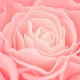 Pink rose background. Close up pink rose background Stock Photos
