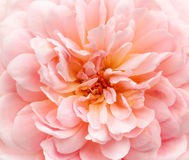 Pink rose background Stock Photo