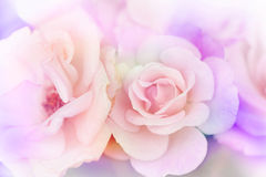 Pink rose background Stock Photography