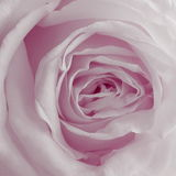 Pink Rose Background - Flower Stock Photos. Dusty Pink Rose Background : Flower Mothers day or Valentines  card - magenta background Stock Photo