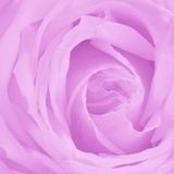 Pink Rose Background - Flower Stock Photos Stock Image