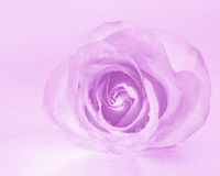 Pink Rose Background - Flower Stock Photos. Pink Rose Background : Flower Mothers day or Valentines card - magenta background royalty free stock images