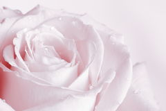 Pink Rose Background - Flower Stock Photos. Pink Rose Background : Flower Mothers day or Valentines card - pale background stock photo