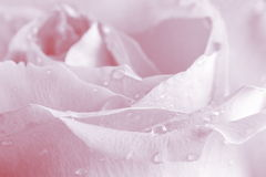 Pink Rose Background - Flower Stock Photos. Pink Rose Background : Flower Mothers day or Valentines card - pale background royalty free stock images