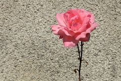 Pink rose on a background of gray stone wall.  Royalty Free Stock Photo
