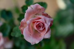 Pink Rose with background stock photography