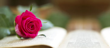 Pink rose banner Stock Photos