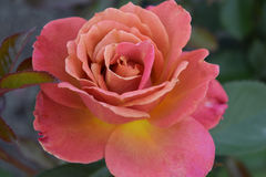 Pink rose. Beautiful pink rose  along our path Stock Photo