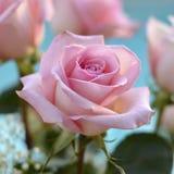 Pink rose. Royalty Free Stock Image