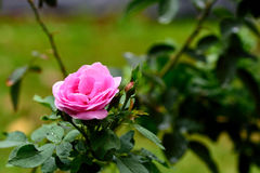 Pink rose. The beautiful rose with pink flower and its sweet fragrance Royalty Free Stock Photo