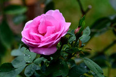 Pink rose. The beautiful rose with pink flower and its sweet fragrance Stock Image