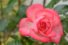 Pink rose. Beautiful fragile Pink Rose in the garden Stock Images