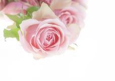 Pink rose. Beautiful fresh rose laid on white background Royalty Free Stock Images