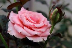 Pink rose. Beautiful pink rose in a garden Stock Image