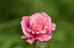 A pink rose. A beautiful pink rose in the garden Royalty Free Stock Images