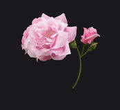 Pink rose. Beautiful gentle pink rose, the opened and closed bud Stock Photos
