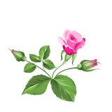 Pink rose. Royalty Free Stock Images