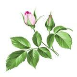 Pink rose. Stock Photo