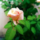 Pink rose. Beautiful pink rose right for you royalty free stock photo