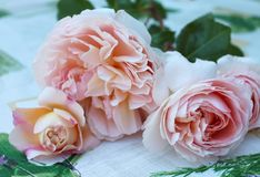 Pink rose Royalty Free Stock Photo