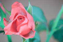 Pink Rose. A beautiful pink rose on a simple gray background royalty free stock photos