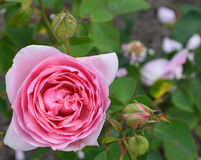 Pink rose Stock Photos