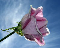 Pink Rose. A beautiful pink rose with water droplets stock photos