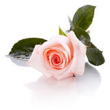 Pink rose. Royalty Free Stock Photos