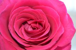 Pink rose. Pink beautiful rose in white daylight Stock Photography