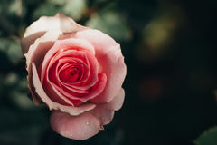 Pink rose beauty flower, valentines day love. Royalty Free Stock Photography