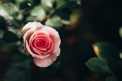 Pink rose beauty flower, valentines day love. Stock Photos