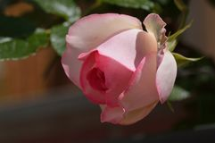 Pink Rose. A beauty-full pink rose Royalty Free Stock Image