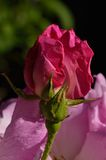 Pink Rose. A beauty-full pink rose Royalty Free Stock Photos