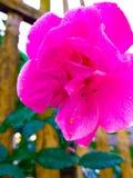 Pink rose. The beautyfull fresh flower Royalty Free Stock Photo