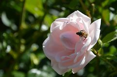 Pink, Rose, Bee, Insect, Summer Stock Photos