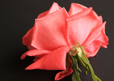 Pink rose beginning to wilt Stock Photography