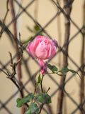 A pink rose behind an iron fence Stock Images