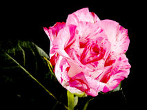 Pink rose on black Royalty Free Stock Image