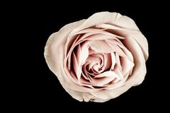 Pink Rose on black. Background Stock Image