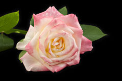 Pink Rose Black Background Royalty Free Stock Images