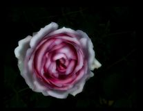 Pink rose on black Stock Photography