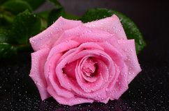 The pink rose on black background Royalty Free Stock Photography