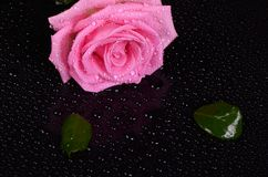 The pink rose on black background Stock Image