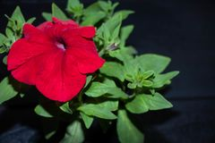 Pink rose on black background. Beautiful red flower. stock image